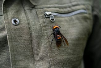 Tracking the Asian giant 'murder hornet' as it reaches North America…