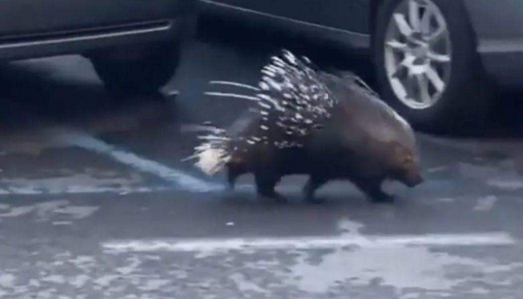 This wandering wild porcupine was only the fourth-weirdest thing that happened at the Vatican this week…
